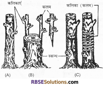 RBSE Solutions for Class 12 Biology Chapter 1 आवृतबीजी पादपों में जनन; कायिक, अलैंगिक, लैंगिक 6