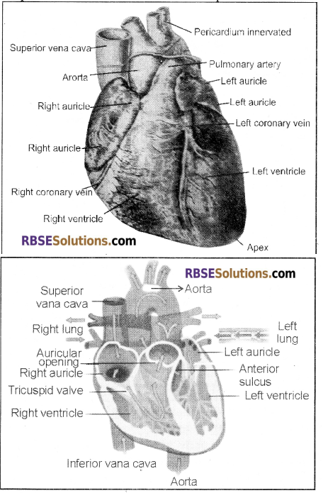 RBSE Solutions for Class 12 Biology Chapter 24 Man-Blood Vascular, System 12