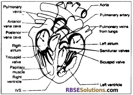 RBSE Solutions for Class 12 Biology Chapter 24 Man-Blood Vascular, System 13