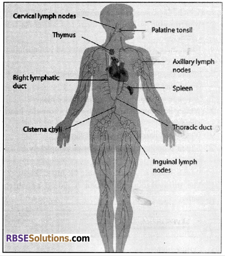 RBSE Solutions for Class 12 Biology Chapter 24 Man-Blood Vascular, System 15
