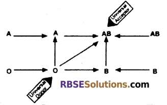RBSE Solutions for Class 12 Biology Chapter 24 Man-Blood Vascular, System 2