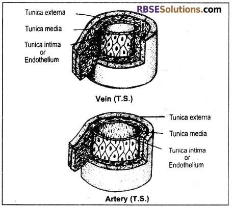RBSE Solutions for Class 12 Biology Chapter 24 Man-Blood Vascular, System 8