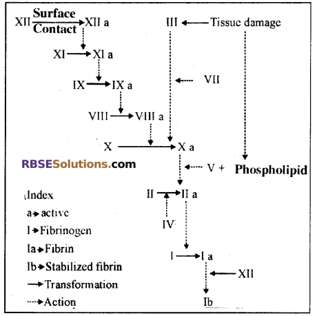 RBSE Solutions for Class 12 Biology Chapter 24 Man-Blood Vascular, System 9
