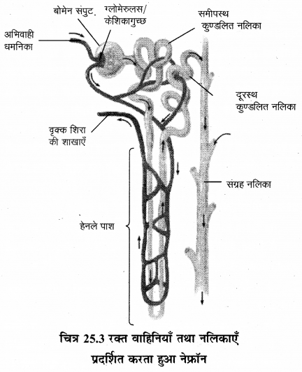 RBSE Solutions for Class 12 Biology Chapter 25 मानव का उत्सर्जन तंत्र 3