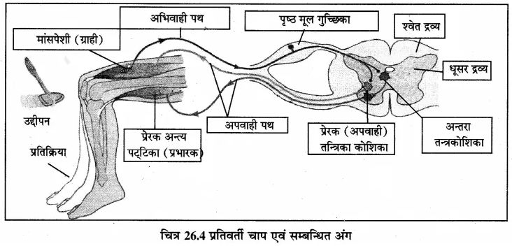 RBSE Solutions for Class 12 Biology Chapter 26 मानव का तंत्रिका तंत्र