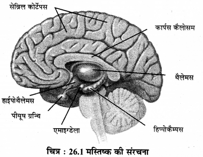 RBSE Solutions for Class 12 Biology Chapter 26 मानव का तंत्रिका तंत्र 2