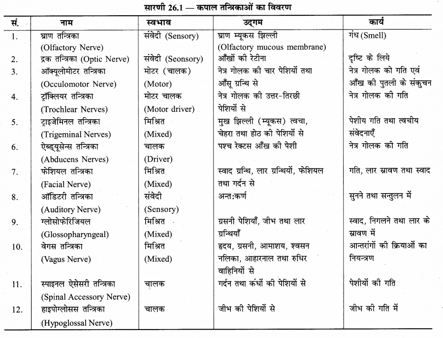 RBSE Solutions for Class 12 Biology Chapter 26 मानव का तंत्रिका तंत्र 3
