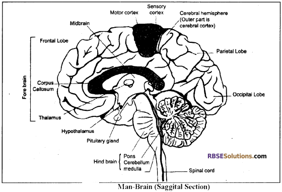 RBSE Solutions for Class 12 Biology Chapter 26 Man-Nervous System img 2
