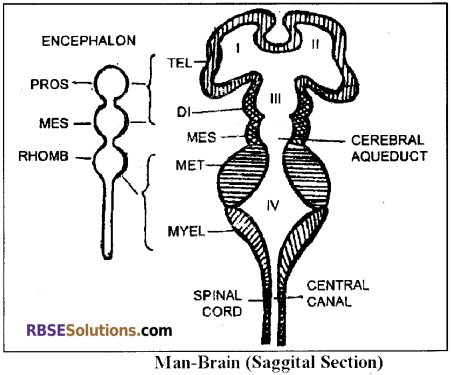 RBSE Solutions for Class 12 Biology Chapter 26 Man-Nervous System img 3
