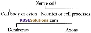RBSE Solutions for Class 12 Biology Chapter 26 Man-Nervous System img 4