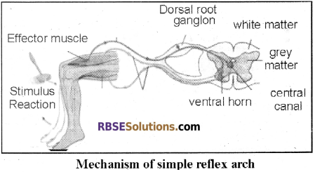 RBSE Solutions for Class 12 Biology Chapter 26 Man-Nervous System img 5