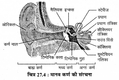RBSE Solutions for Class 12 Biology Chapter 27 मानव के संवेदी अंग, ज्ञानेन्द्रियाँ 1