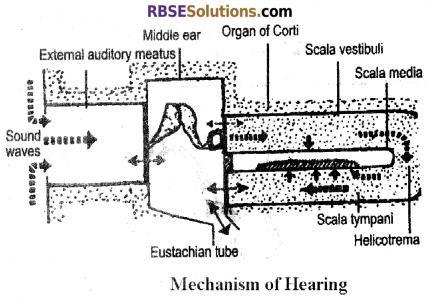 RBSE Solutions for Class 12 Biology Chapter 27 Man-Sensory Organs (Sense Organs) img 1