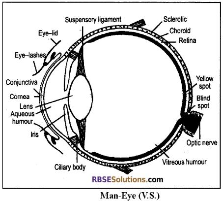 RBSE Solutions for Class 12 Biology Chapter 27 Man-Sensory Organs (Sense Organs) img 5