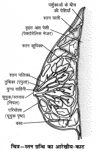 RBSE Solutions for Class 12 Biology Chapter 28 मानव का जनन तंत्र