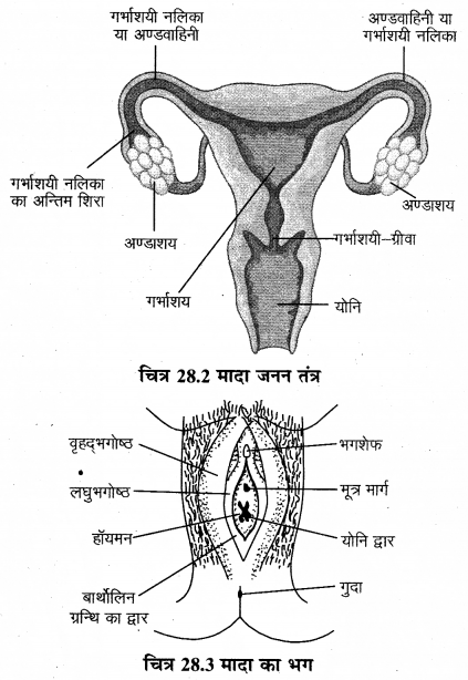 RBSE Solutions for Class 12 Biology Chapter 28 मानव का जनन तंत्र 4