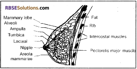 RBSE Solutions for Class 12 Biology Chapter 28 Man-Reproductive System img 1