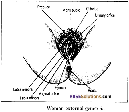 RBSE Solutions for Class 12 Biology Chapter 28 Man-Reproductive System img 7