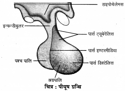 RBSE Solutions for Class 12 Biology Chapter 29 मानव में रासायनिक समन्वयन 2