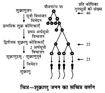 RBSE Solutions for Class 12 Biology Chapter 31 मानव में युग्मकजनन 3