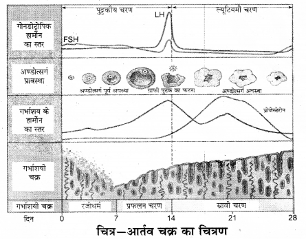 RBSE Solutions for Class 12 Biology Chapter 34 मानव में आर्तव चक्र