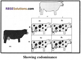 RBSE Solutions for Class 12 Biology Chapter 35 Mendel's Law of Inheritance img 11