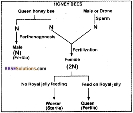 RBSE Solutions for Class 12 Biology Chapter 41 Domestication, Culture & Economic Importance of Animals img 1