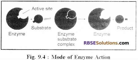 RBSE Solutions for Class 12 Biology Chapter 9 Enzymes 2