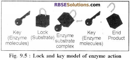 RBSE Solutions for Class 12 Biology Chapter 9 Enzymes 3