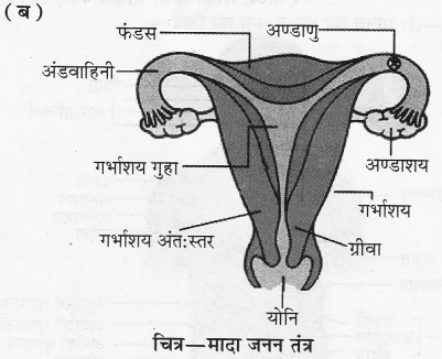 RBSE Solutions for Class 10 Science Chapter 2 मानव तंत्र image - 13
