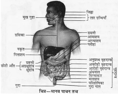 RBSE Solutions for Class 10 Science Chapter 2 मानव तंत्र image - 17