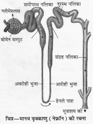 RBSE Solutions for Class 10 Science Chapter 2 मानव तंत्र image - 21