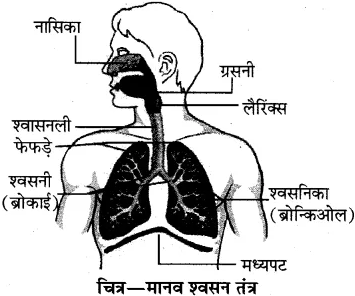 RBSE Solutions for Class 10 Science Chapter 2 मानव तंत्र image - 25