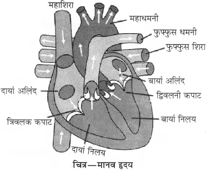 RBSE Solutions for Class 10 Science Chapter 2 मानव तंत्र image - 27