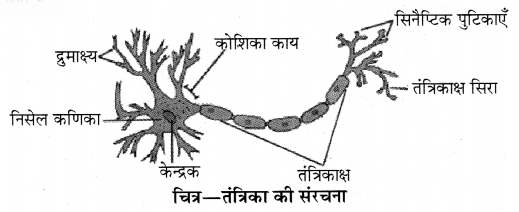 RBSE Solutions for Class 10 Science Chapter 2 मानव तंत्र image - 4