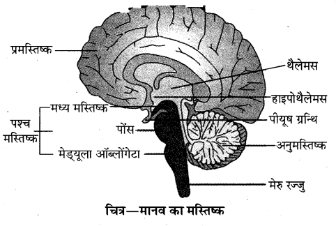 RBSE Solutions for Class 10 Science Chapter 2 मानव तंत्र image - 5