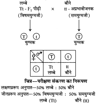 RBSE Solutions for Class 10 Science Chapter 3 आनुवंशिकी image - 12