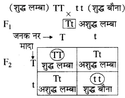 RBSE Solutions for Class 10 Science Chapter 3 आनुवंशिकी image - 14