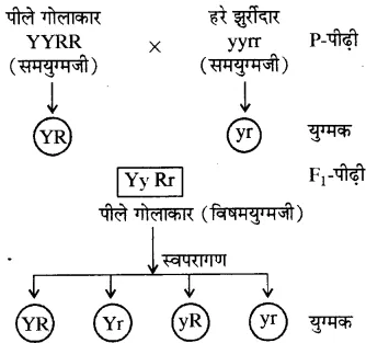 RBSE Solutions for Class 10 Science Chapter 3 आनुवंशिकी image - 15