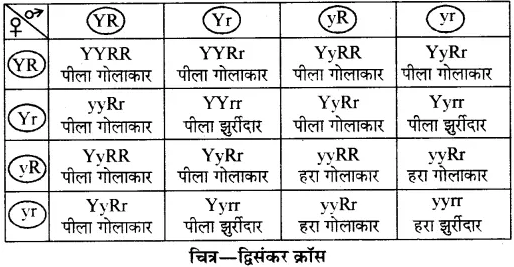 RBSE Solutions for Class 10 Science Chapter 3 आनुवंशिकी image - 16