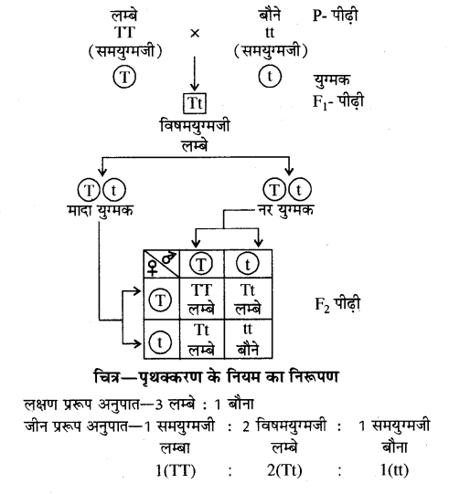 RBSE Solutions for Class 10 Science Chapter 3 आनुवंशिकी image - 3