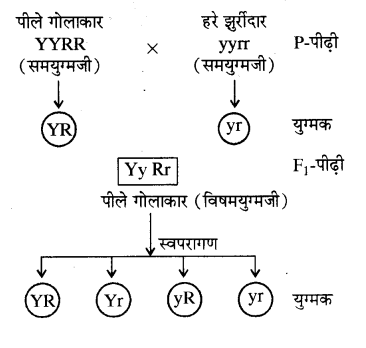 RBSE Solutions for Class 10 Science Chapter 3 आनुवंशिकी image - 4