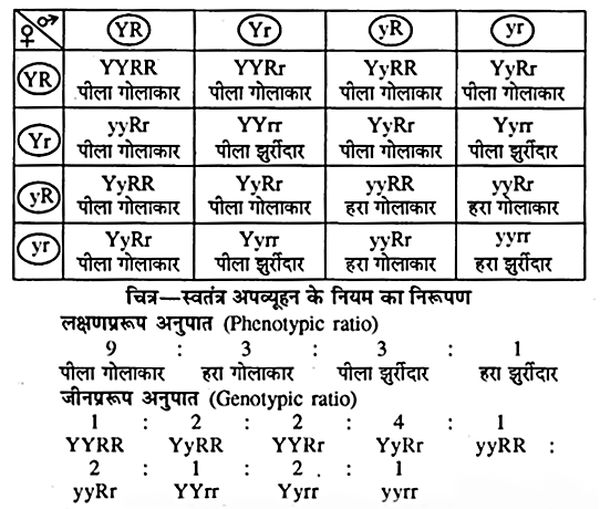 RBSE Solutions for Class 10 Science Chapter 3 आनुवंशिकी image - 5