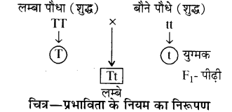 RBSE Solutions for Class 10 Science Chapter 3 आनुवंशिकी image - 6