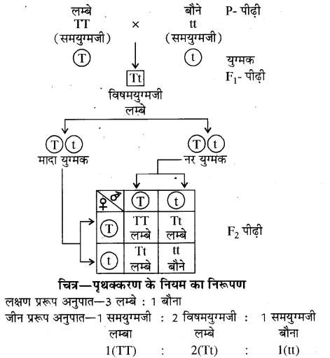 RBSE Solutions for Class 10 Science Chapter 3 आनुवंशिकी image - 7