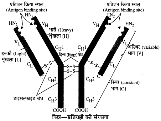 RBSE Solutions for Class 10 Science Chapter 4 प्रतिरक्षा एवं रक्तसमूह image - 3