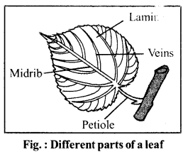 RBSE Solutions for Class 6 Science Chapter 9 Types and Parts of Plants image 1
