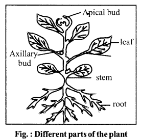RBSE Solutions for Class 6 Science Chapter 9 Types and Parts of Plants image 2