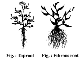 RBSE Solutions for Class 6 Science Chapter 9 Types and Parts of Plants image 3