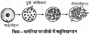 RBSE Solutions for Class 9 Science Chapter 8 सजीवों की प्रमुख क्रियाएँ 31
